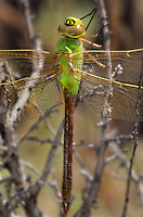 339430032 a wild female common green darner anax junius perches in a high desert plant at de chambeau ponds in mono county california united states