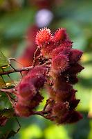Nomes populares : Urucum, Urucu, Açafroa, Açafroeira da terra.. Família: Bixacea. Planta Pioneira de pequeno porte, adulto de até 5 m de altura. Esta árvore é cultivada em muitas regiões do país, e sua semente é usada para condimento e coloração de alimentos, coloração esta proveniente da orelina (amarelo) e a bixina (vermelho), um dos poucos corantes vermelhos permitido para uso em alimentos. É também usado por índios para pintura de pele e repelente de insetos e para rituais religiosos. Rápida em seu crescimento, pode ser usada em reflorestamentos e como ornamental.<br /> <br /> Foto Paulo Santos