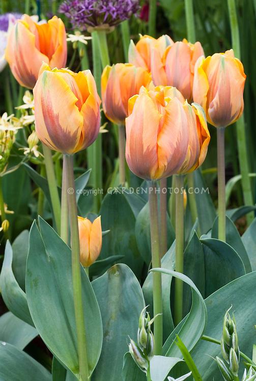 Tulipa 'Princess Irene' tulips