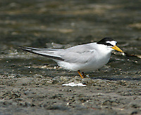 Adult least tern in breeding plumage