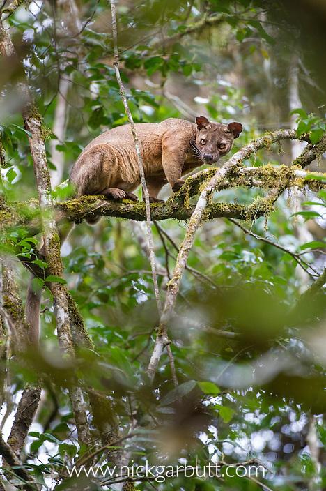 Male Fosa (Cryptoprocta ferox) (sometimes incorrectly Fossa) resting in canopy. Mid-alitude rainforest, Andasibe-Mantadia National Park, eastern Madagascar. IUCN Endangered.