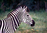 BOTSWANA, Africa, a Zebra in Chobe National Park and Game Reserve