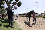 27 June 2009: Zenyatta in the paddock before the Vanity Handicap (GI) at Hollywood Park in Inglewood, CA