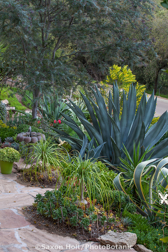 Agave americana with Acacia baileyana 'Purpurea' Purple Fernleaf Acacia tree in upper left and Beaucamea recurvata, Ponytail Palm and Aeoniums; Debra Lee Baldwin Southern California succulent garden