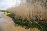 Side view of reeds growing on banks of River Deben, Suffolk, England