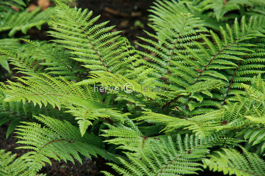 fougère,Polystichum polyblepharum, aspidie du japon, pattes d'ours // Tassel Fern, Polystichum polyblepharum