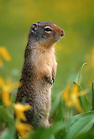 35-M02B-SC-02   COLUMBIAN GROUND SQUIRREL (Citellus columbianus), among glacier lilies, Glacier National Park, Montana, USA                      .