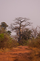 Baobab tree on top of the Fouta Djallon Massif in south eastern Senegal