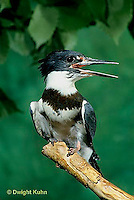 KG01-018x  Belted Kingfisher - male perched along stream - Megaceryle alcyon