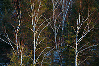 Birch trees and evergreens on shore of the Seine River at sunrise<br />