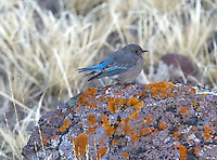 A female mountain bluebird (Sialla currucoides) on a rock covered with lichens. Only the femail builds the nest. The male sometimes acts as if he is helping, but he either brings no nest material or he drops it on the way (All About Birds.com)