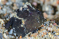 Painted frogfish, Antennarius pictus, Lembeh Strait, North Sulawesi, Indonesia, Pacific