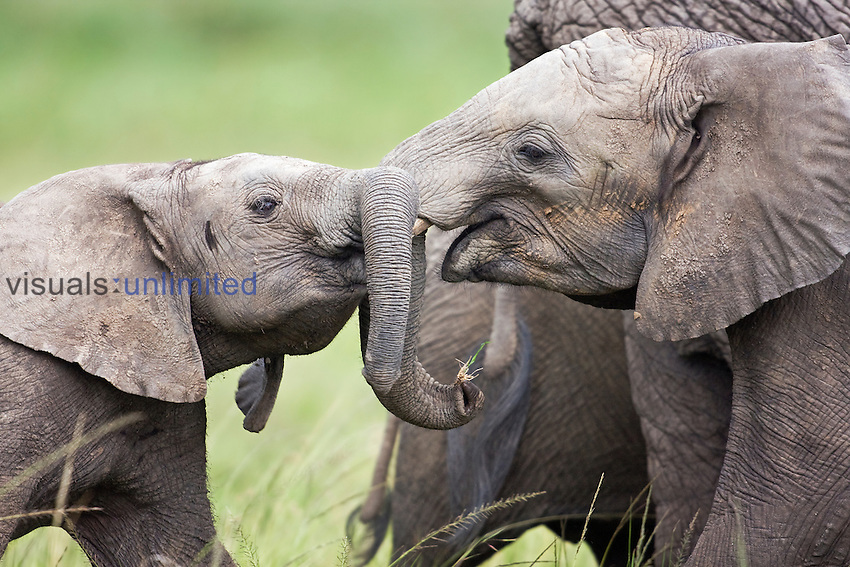 Young African Elephants (Loxodonta africana) play fighting, Masai Mara National Reserve, Kenya, Africa.