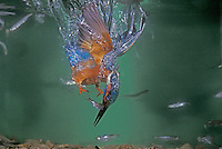 Common Kingfisher, Alcedo atthis,male under water catching fish, Zug, Switzerland, Europe
