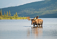 July 30, 2013, Moose in Wonder Lake, Denali National Park and Preserve, Alaska, United States.
