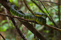 A Kinabalu Pit Viper (Trimeresurus malcomi) resting on a fallen branch. Trimeresurusis a genus of venomous pitvipers found in Asia from Pakistan, through India, China, throughout Southeast Asia and the Pacific Islands. Currently 35 species are recognized.