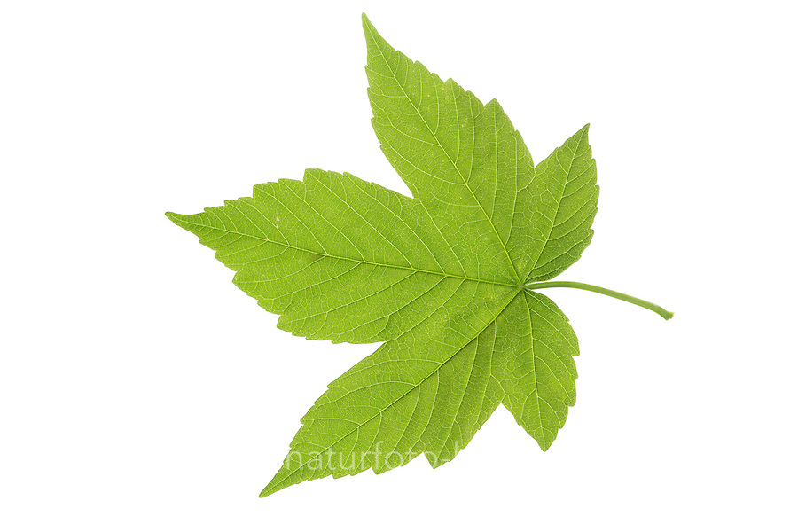 Berg-Ahorn, Bergahorn, Ahorn, Acer pseudoplatanus, Sycamore, Erable sycomore, sycamore maple, L'érable sycomore. Blatt, Blätter, leaf, leaves