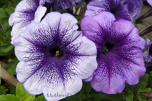 Variegated Purple petunias close up, Maine