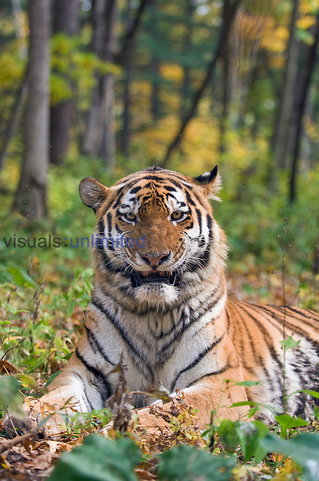 Male Siberian or Amur Tiger resting (Panthera tigris altaica), an endangered species, Russia.
