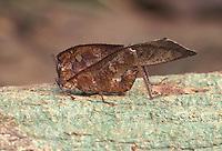 Short-horned Grasshopper; Chorotypus cf. brunneri; leaf mimic; Indonesia, Borneo, W. Kalimantan, Bentuang-Karimun National Park