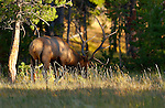 Bull Elk, Norris Junction, Yellowstone National Park, Wyoming