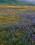 Carrizo Plain National Mounment, CA<br /> Desert field of miniature lupine, (Lupinus bicolor) and California poppie (Eschscholtzia califonica) - Caliente foothills in the distance