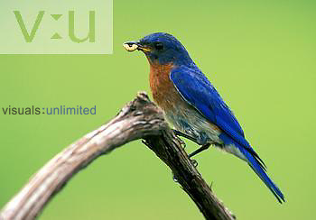 Male Eastern Bluebird ,Sialia sialis, with prey