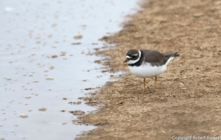 Common Ringed Plover, Charadrius hiaticula, feeding at salt pans, waters edge, Ria Formosa East, Algarve, Portugal