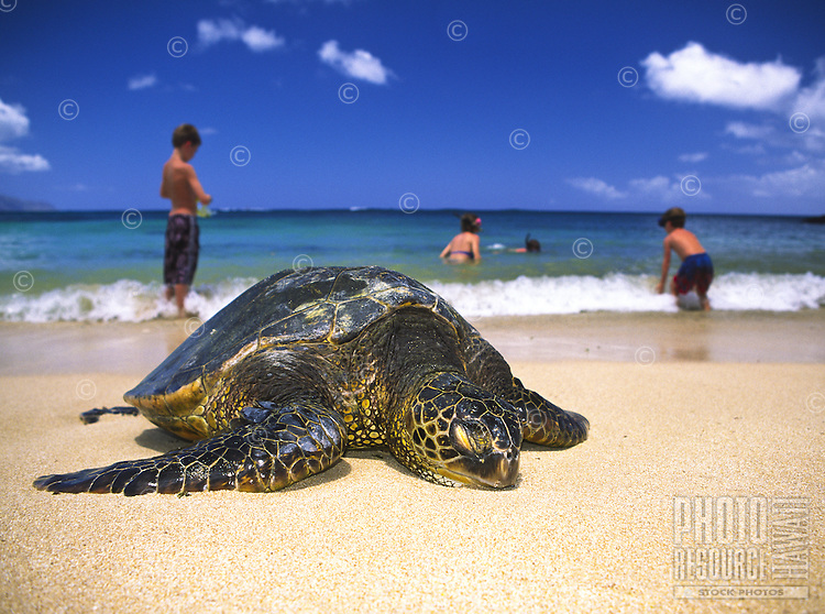 "Endangered Green Sea Turtles can be seen resting quietly at Laniakea Beach on Oahu's north shore. Their Hawaiian name is """"Honu"""". Scientific name (Chelonia mydas)"