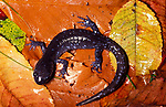 Blue Spotted Salamander, Ambystoma laterale, on forest floor, Canada, when in danger of predators it lashesits tail back and forth which produces a noxious secretion from two glands at the base of its tail, defense.