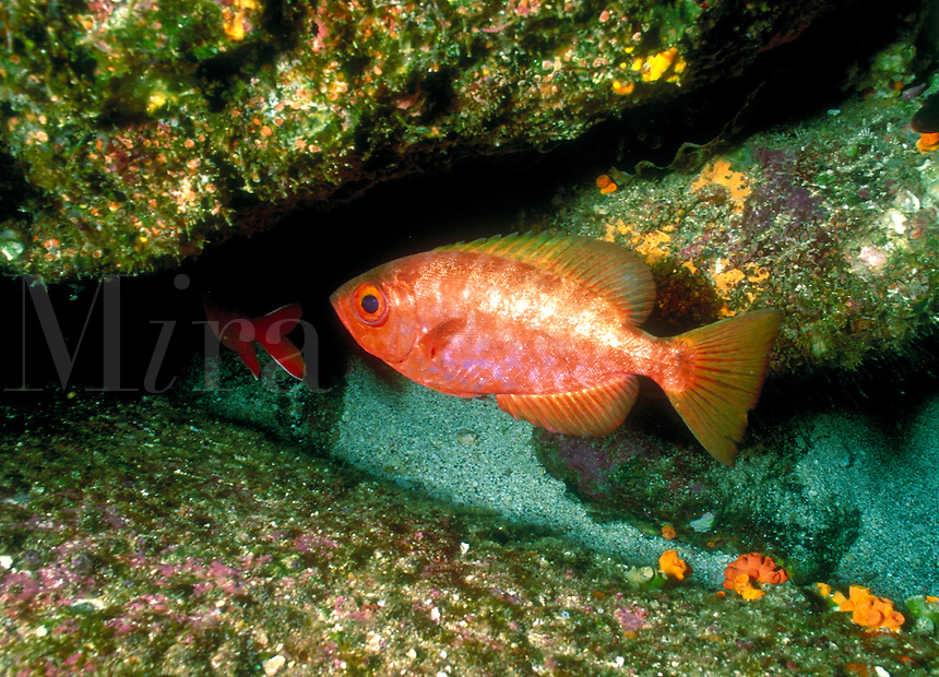 """Soldierfish, Heteropriacanthus cruentatus, are nocturnal fishes sometimes called """"""""GlassEye"""""""", tropical fish, close up, underwater. Galapagos Islands Ecuador Pacific Ocean, 650 miles west of South America."""