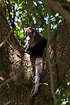 Coati in a tree, Manual Antonio National Park, Costa Rica