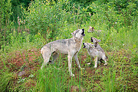 Gray wolves (Canis lupus), adult with young animals in a meadow, howling, social behaviour, Pine County, Minnesota, USA, North America