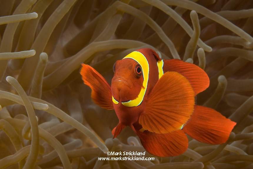 She wide, yellow bands distinguish this Spinecheek Anemonefish, Premnas epigramma, as a distinct species that is found only in the eastern Indian Ocean.  South Button Island, Andaman Islands, Andaman Sea, India