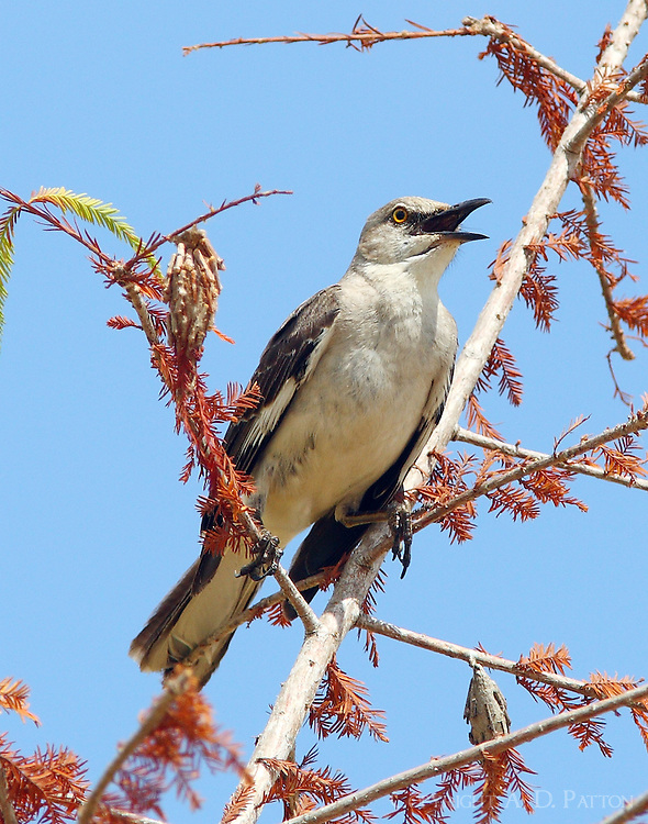 Adult northern mockingbird singing