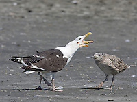 Great Black-backed Gull; Larus marinus; adult with chick; Stone Harbor, NJ