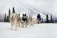 Sled dog team shortly after arrival @ Rainy Pass Chkpt during 1985 Iditarod Rainy Pass Interior Alaska Winter