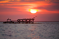 Brown Pelicans landing on oil and gas infrastructure at sunset. Plaquemines Parish, Louisiana. July 2010.