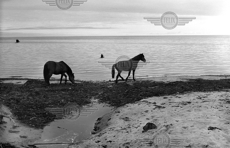 Two horses roam along the coast on the White Sea in the far North of Russia.