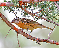 Adult female black-headed grosbeak in non-breeding plumage