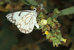 Belenois aurota Butterfly, being eaten, killed by crab spider, prey, West Africa