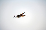 MEXICO, Baja, Magdalena Bay, Pacific Ocean, a Pelican seen flying while grey whale watching in the bay