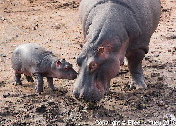 Hippo Mom and Baby  Kenya 2015