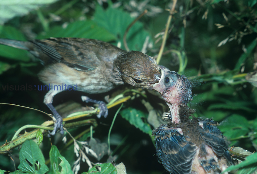 Female Indigo Bunting feeding its young in the nest ,Passerina cyanea,, North America.