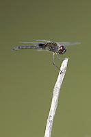 Marl Pennant (Macrodiplax balteata) Dragonfly - Male, Tierra Verde Pond, Tierra Verde, Pinellas County, Florida