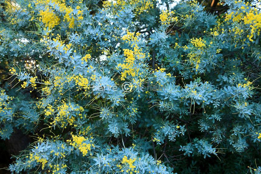 Le domaine du Rayol en février : dans le jardin australien, mimosa de Bailey (Acacia baileyana)