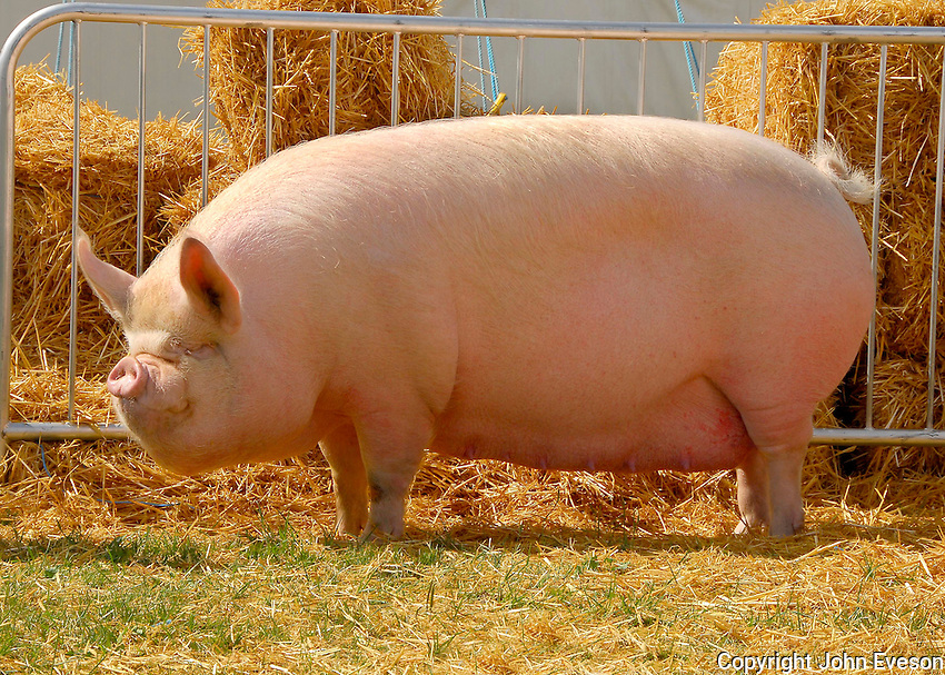 The interbreed pig champion, Middle White sow, Woodlands Lady from Mr. and Mrs. I. M. and T. K. Bretherton.