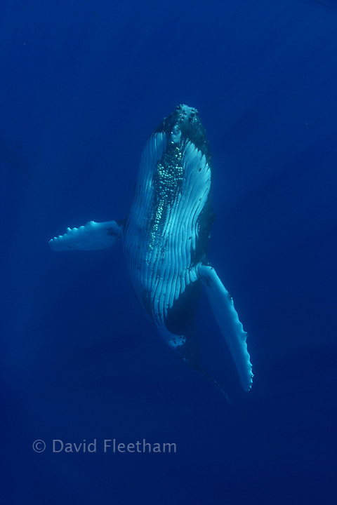 The pectoral fins of a humpback whale, Megaptera novaeangliae, are modified forelimbs which possess many of the bones present in our own arms.  Hawaii.
