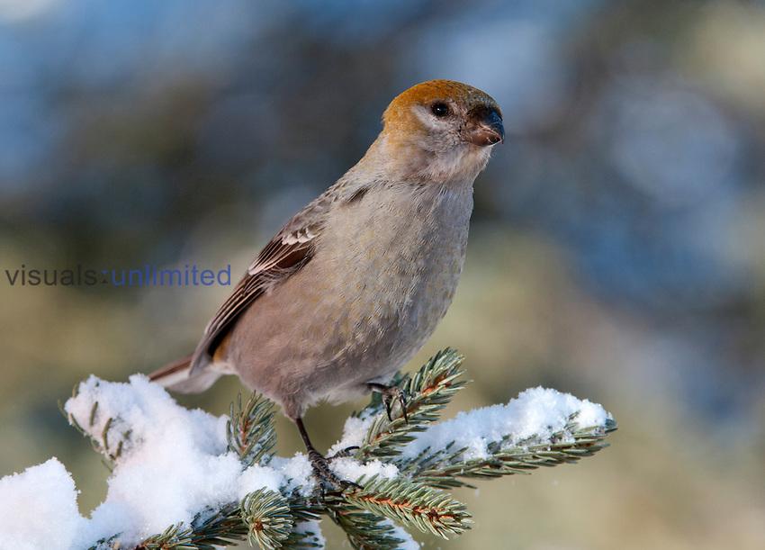 Female Pine Grosbeak (Pinicola enucleato), Montana, USA.