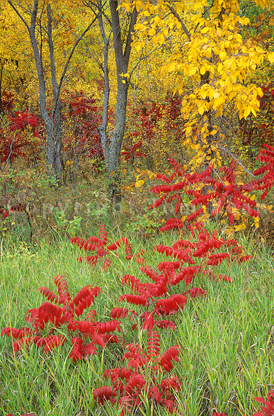 Red summac and autumn forest at Icelandic State Park, near Cavalier, North Dakota, AGPix_0220.